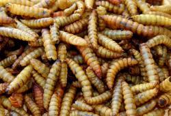 5kg Futterbauer Soldatenfliegenlarven wie Mehlwürmer Vogelfutter, Fischfutter